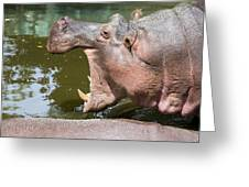 Hippopotamus With Open Mouth Greeting Card