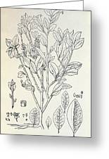 Historical Art Of Coca Plant Greeting Card