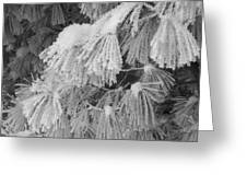 Hoar Frost On Pine Branches Greeting Card