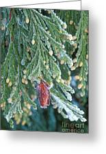Hoarfrost On Pine Bough Yosemite National Park Greeting Card