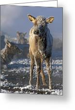 Hoarfrosted Elk Calf Greeting Card