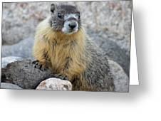 Hoary Marmot Greeting Card