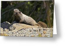 Hoary Marmots Greeting Card