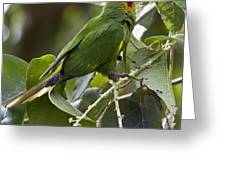 Hoffman's Conure Greeting Card