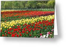 Holland Tulip Fields Greeting Card
