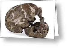 Homo Neanderthalensis Cranium (tabun 1) Greeting Card