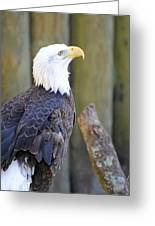 Homosassa Springs Bald Eagle Greeting Card