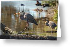 Homosassa Springs Waterfowl 8 Greeting Card