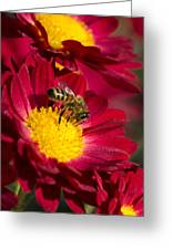 Honey Bee And Chrysanthemum Greeting Card by Christina Rollo