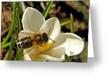 Honey Bee And Crocus Greeting Card