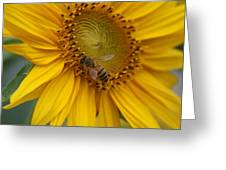 Honey Bee Close Up On Edge Of Sunfower...  # Greeting Card