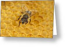 Honey Bee Colony On Honeycomb Greeting Card