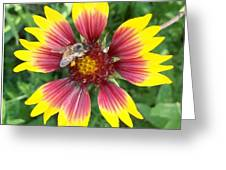 Honey Bee On A Indian Blanket Greeting Card