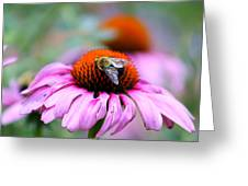 Honey Bee On A Pink Daisy Greeting Card