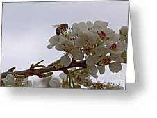 Honey Bee On Almond Blossom   #9636 Greeting Card