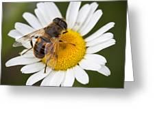Honey Bee On Daisy Greeting Card