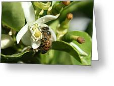 Honey Bee Pollinating Orange Blossom Greeting Card