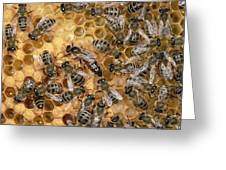 Honey Bee Queen And Colony On Honeycomb Greeting Card