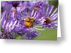 Honeybee And Aster Greeting Card