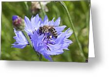 Honeybee In Bachelor's Button Greeting Card