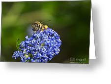 Honeybee On California Lilac Greeting Card