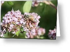 Honeybee On Oregano Greeting Card