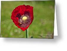 Honeybee Pollinating An Oriental Red Poppy Flower Greeting Card