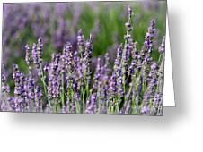 Honeybees On Lavender Flowers Greeting Card