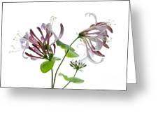 Honeysuckle Blossom Greeting Card