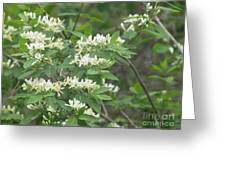 Honeysuckle Blossoms Greeting Card