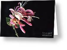 Honeysuckle  Lonicera Greeting Card