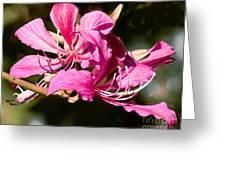 Hong Kong Orchid Tree Flower Blooms Greeting Card