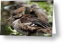 Hooded Merganser Female Greeting Card