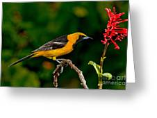 Hooded Oriole Male Greeting Card