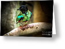Hooded Pitta Greeting Card