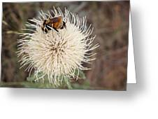 Hooker's Thistle With Bumblebee Greeting Card