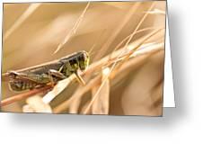 Hopper In Golden Grass Greeting Card