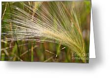 Hordeum Jubatum Grass Greeting Card