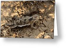 Horned Lizard   #8888 Greeting Card