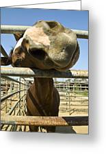 Horse Nose Greeting Card