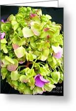 Hortensia With Touch Of Pink Greeting Card