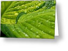 Hosta Droplets II Greeting Card
