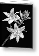 Hosta Flowers In Black And White Greeting Card