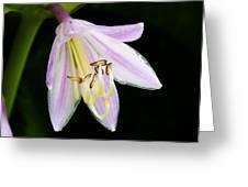 Hosta In Bloom Greeting Card
