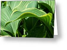 Hosta Leaves After The Rain Greeting Card