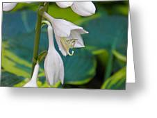 Hosta Greeting Card