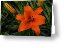 Hot Orange Lily  Greeting Card