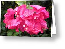 Hot Pink Bougainvillea Greeting Card