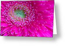Hot Pink Gerbera Daisy Greeting Card