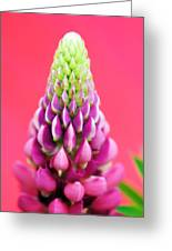 Hot Pink Lupine Greeting Card